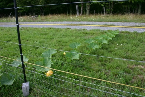 Squash escaping the solar fence