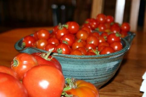 Tomato harvest, September 16