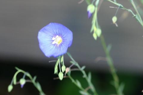 Wild Blue Flax.