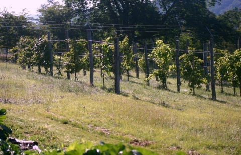 Vineyard--looking so much more like an actual vineyard this year!