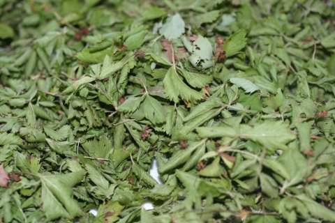 Wild strawberry leaves, drying.