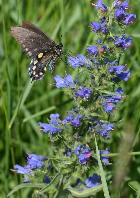 Black swallowtail on Viper's Bugloss.