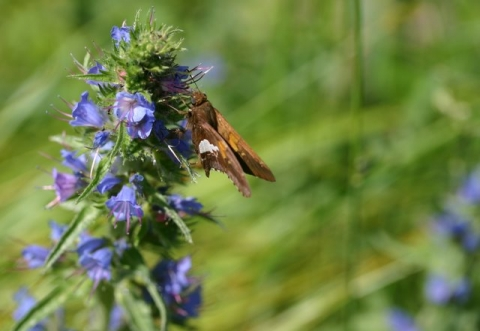 Silver-spotted Skipper on Viper's Bugloss.