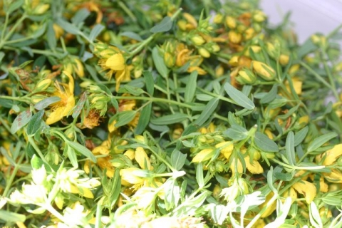 St. John's Wort blossoms, drying.