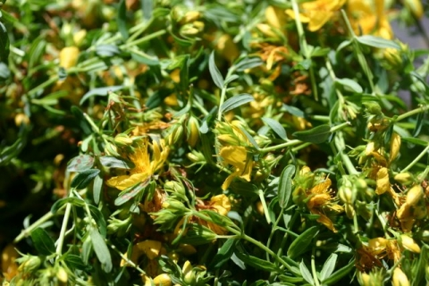 St. John's Wort, drying.