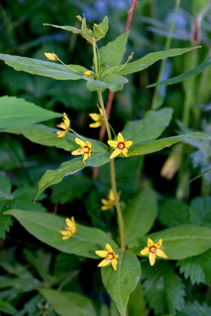 Whorled Loosestrife.