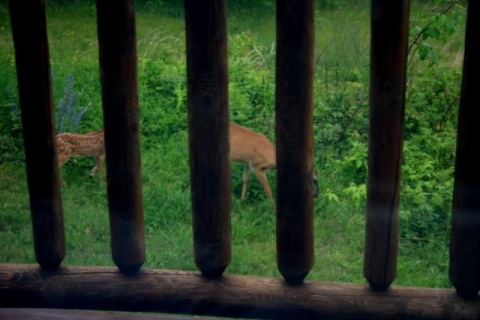 Doe and fawn just beyond my office window.