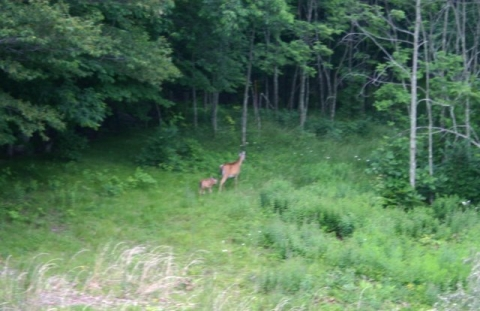 Doe and fawn heading toward Wiley Way.