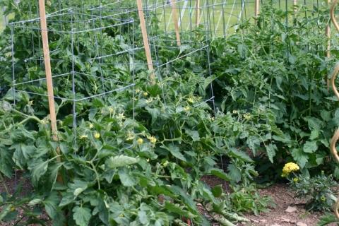 July 2 tomato plants.