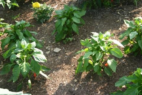 July 2 pepper plants.
