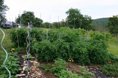 July 19 tomato plants.