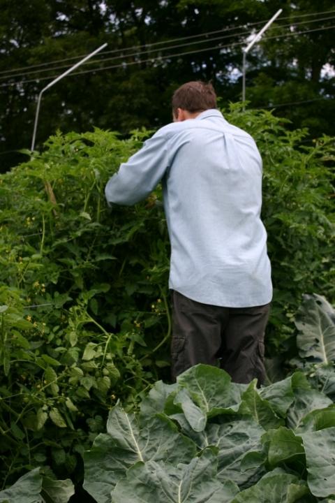 David wrestling the tomato hedge.