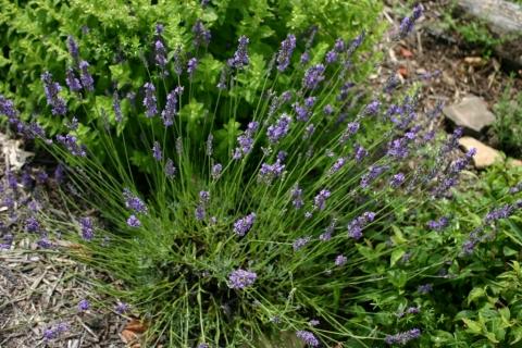 July 19 lavender.
