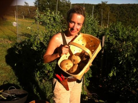 King Harry potatoes September 11.