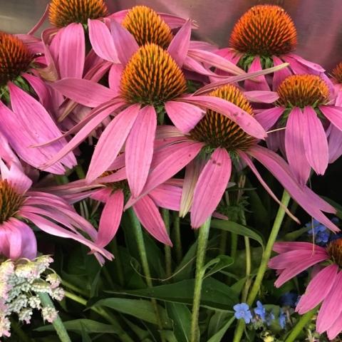 August 3 Echinacea