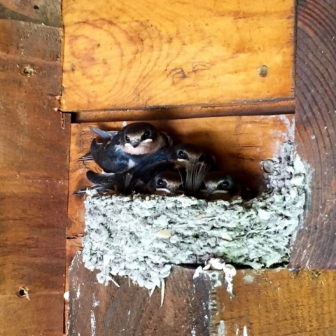 July 12 Barn Swallows on the Porch