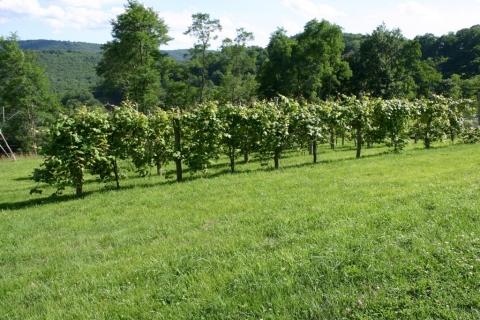July 17 Vineyard