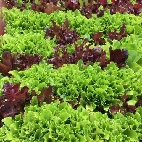 Lettuce! Oh the joys of lettuce!