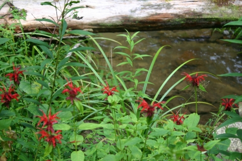 Scarlet Bee Balm in Hidden Valley at Brightside. August 5.