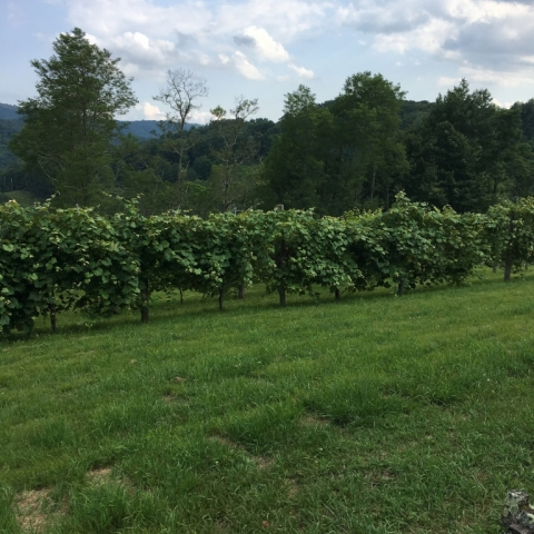 Vineyard July 13.
