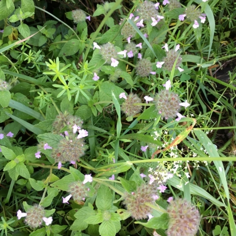 Wild Basil, also abundant. Very different from Heal All.