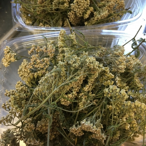 Dried Yarrow. July 28.