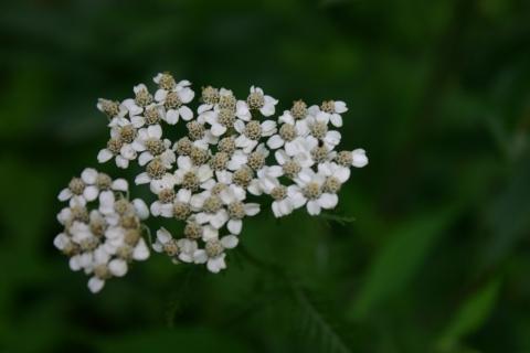 Yarrow. (Achillea Millefolium).