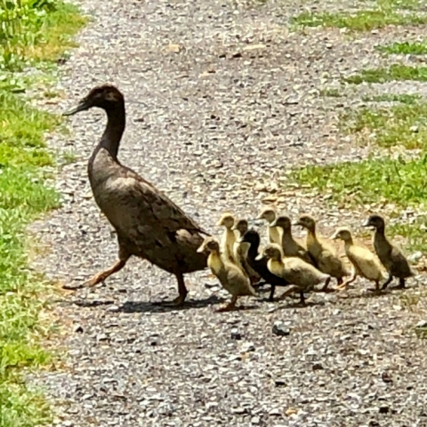 July 7. Ding teaches her 10 babies the rules of the road!