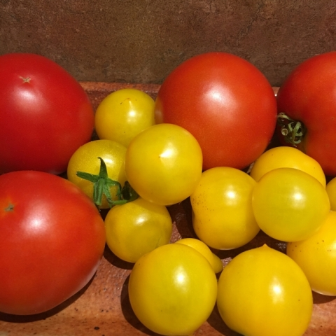 Greenhouse tomatoes.