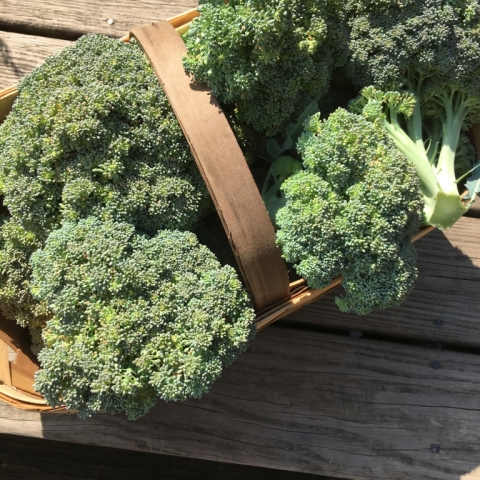 July 7 Broccoli.
