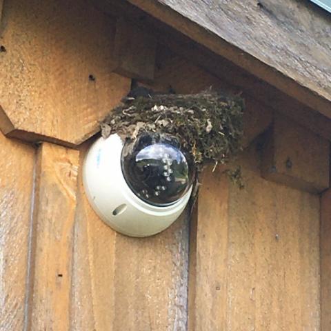 Eastern Phoebe nest.