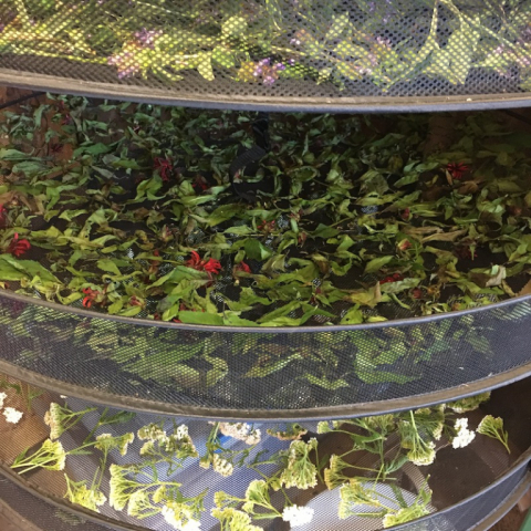 July 15. Herbs drying.