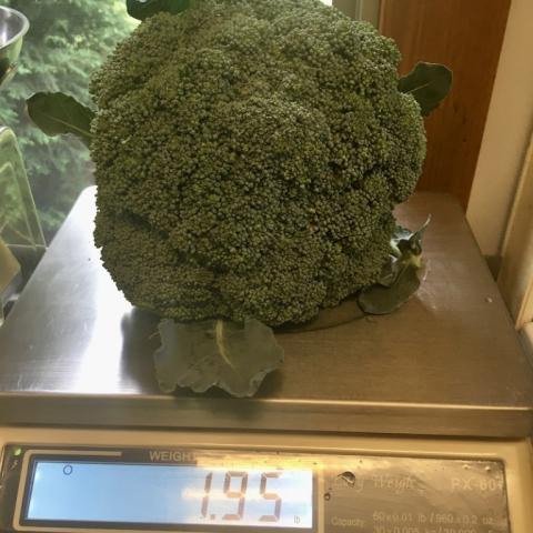 July 24. Nice Broccoli!