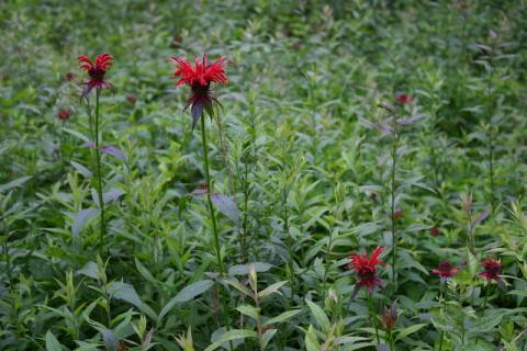 Scarlet Bee Balm in Hidden Valley.