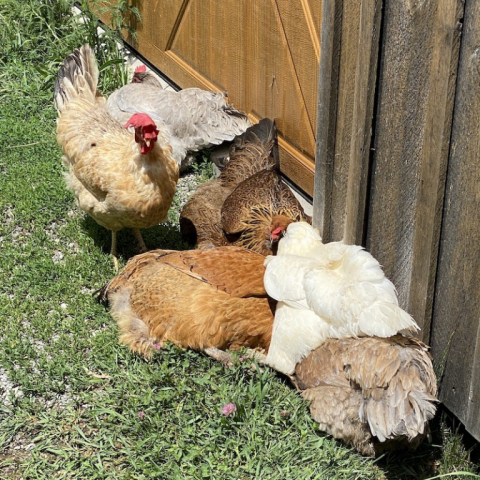 The hens enjoy sunning together.