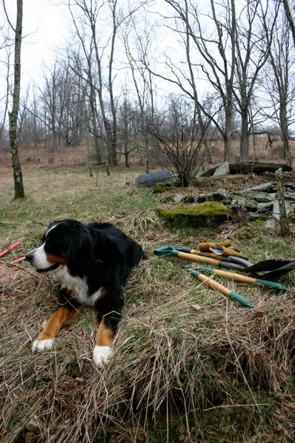 Cosmo supervising orchard work, March 22