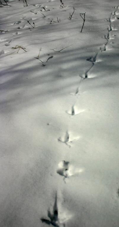 Great Blue Heron tracks.