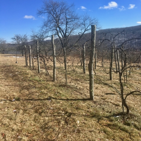 Finally, a sunny day! January 28. Spent time pruning the grapevines.