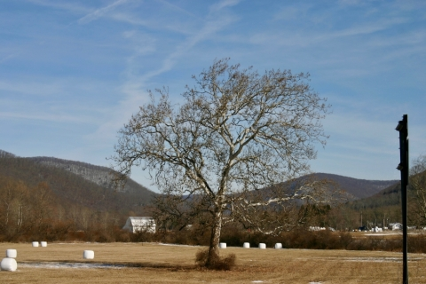 My favorite Sycamore. Bartow, Wv.