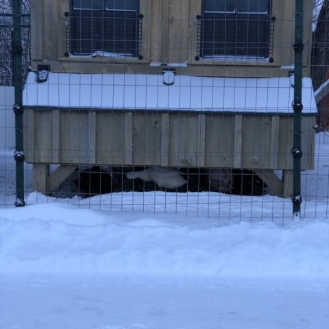 Duckies hanging under the chicken coop.