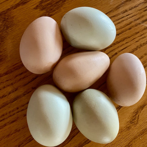 Hens are laying again!